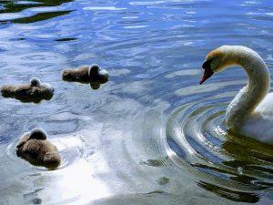 Swan babies are not ugly ducklings - Hallstatt Austria